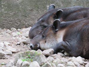 Zwei Tapire im Zoo El Nispero