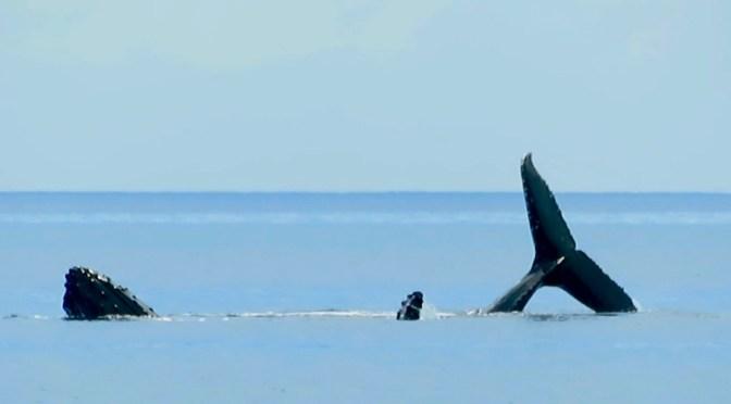 Von Fulaga bis Musket Cove – über Wale, Haie, Manta Rochen und einen riesigen Mahi Mahi
