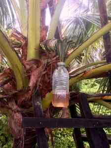 Fermentation in Coconut tree