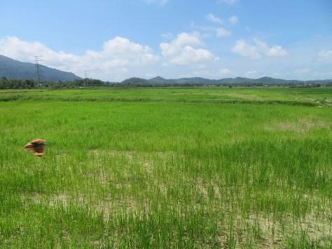 Reisfelder in Matsirat