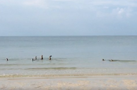 Seeotter spielen im Wasser (Foto aus Facebook)