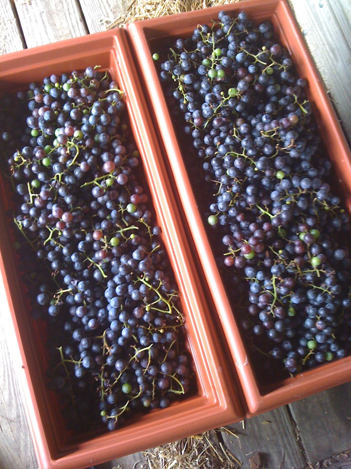 65 lbs. of concord grapes, ready for a trip on the Xtracycle