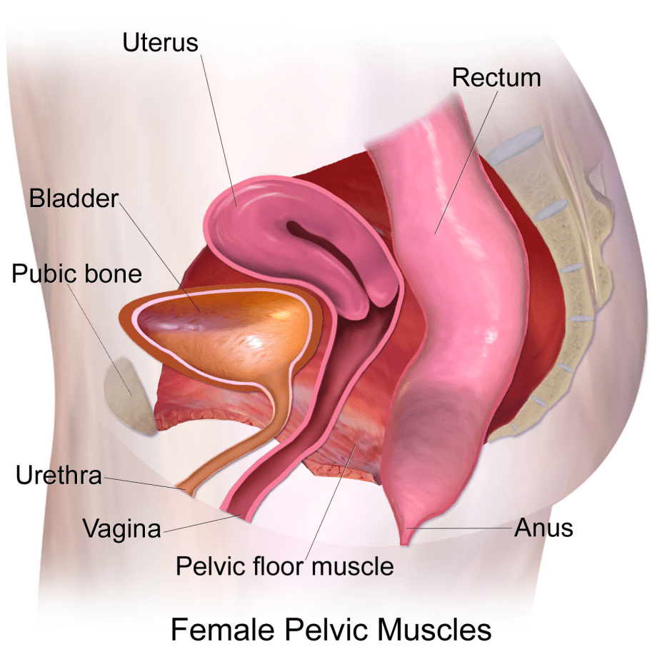 the pelvic floor and why kegel exercises are important in pregnancy