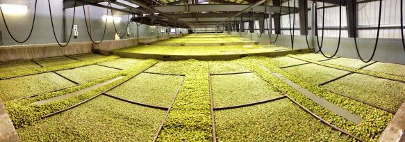 """28"""" deep of hops being kiln dried."""