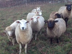 It's 2013 breeding season - Earl is in with the ewes on the far left.