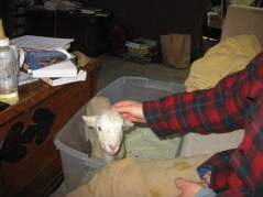 I bottle-raised Agnes, Janet's 2013 ewe lamb after Janet rejected her.