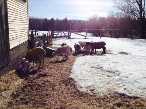 These are the Sheep of Sheep and Pickle Farm