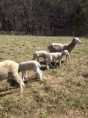 Earl's lambs are strong and handsome with lustrous, uniform wool.