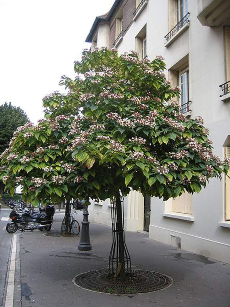 Clerodendrum Trichotomum Shrub And Vine Seeds