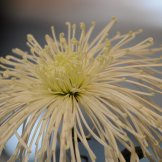 Chrysanthemum-008