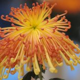 Chrysanthemum-012
