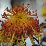 Chrysanthemum-013