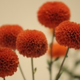 Chrysanthemum-022