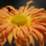 Chrysanthemum-030