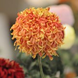 Chrysanthemum-038