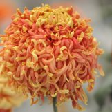 Chrysanthemum-039
