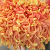 Chrysanthemum-040