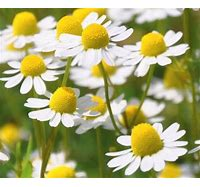 German Chamomile Blooms