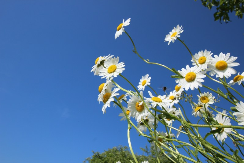 daisies-388947_1920
