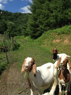 Smiling goats, because, they're smiling!