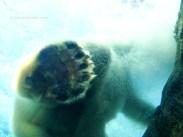 Polar Bear Paw 8761 Copyright Shelagh Donnelly
