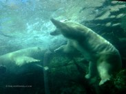 Polar Bears at Play 8771 Copyright Shelagh Donnelly