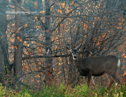 Northern Deer Copyright Shelagh Donnelly