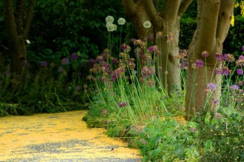 Allium Path 0289 Copyright Shelagh Donnelly