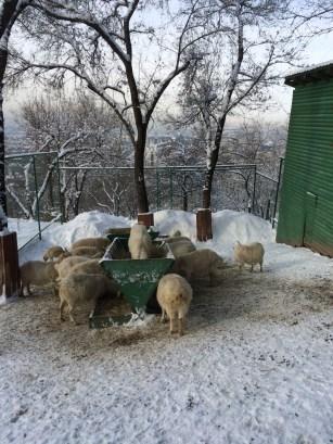 Sheep at the zoo