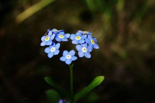 forget me not flowers arranged like a heart
