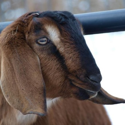 cropped-goat1.jpg