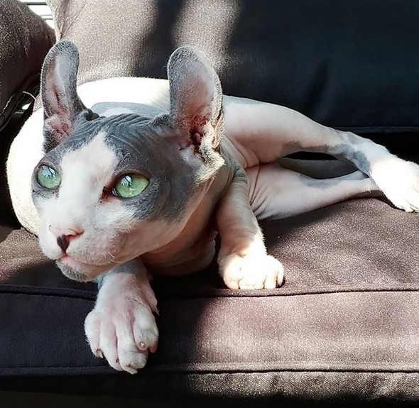 Remy the Gargoyle Sphynx hairless cat
