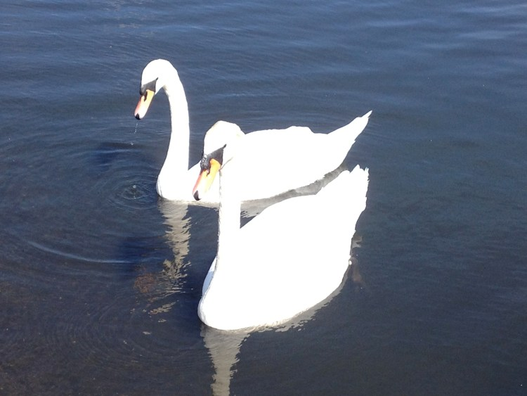 Swans in Hyde Park