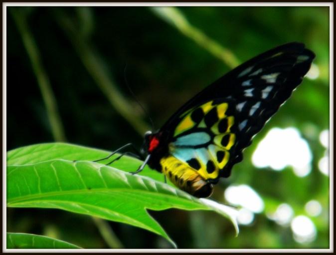 Butterfly 7025