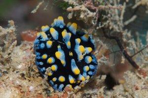 nudibranch off Australia coast