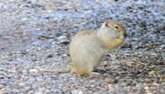 animal ground squirrel