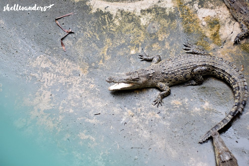Crocodile at Crocodile Farm
