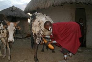 More women's work: morning milking.