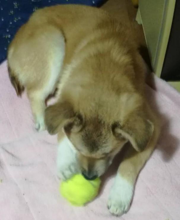岡山の保護犬あおの一日ボール遊びもうまくなってきた。