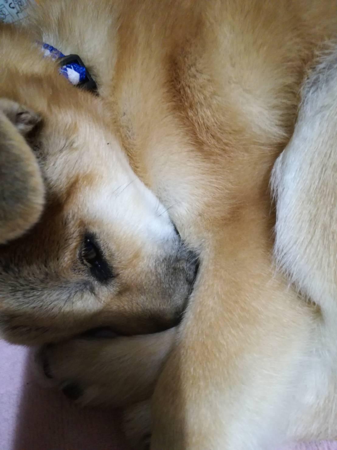 岡山の保護犬あおの一日スヤスヤ遊び疲れて爆睡