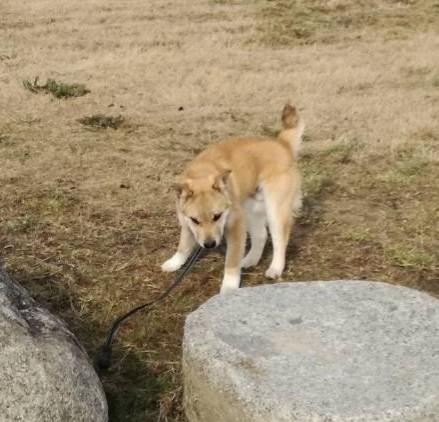 岡山保護犬あおの一日あっちでゴロゴロこっちでゴロゴロ