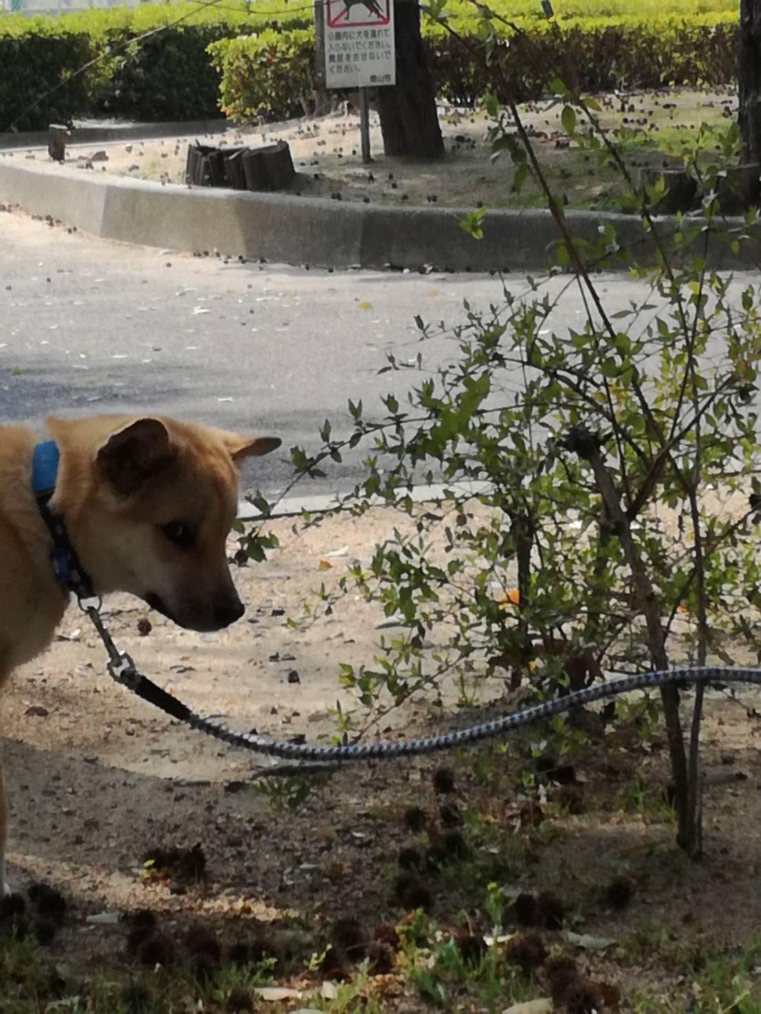 岡山保護犬あおの一日、テニスの大会についていくんです
