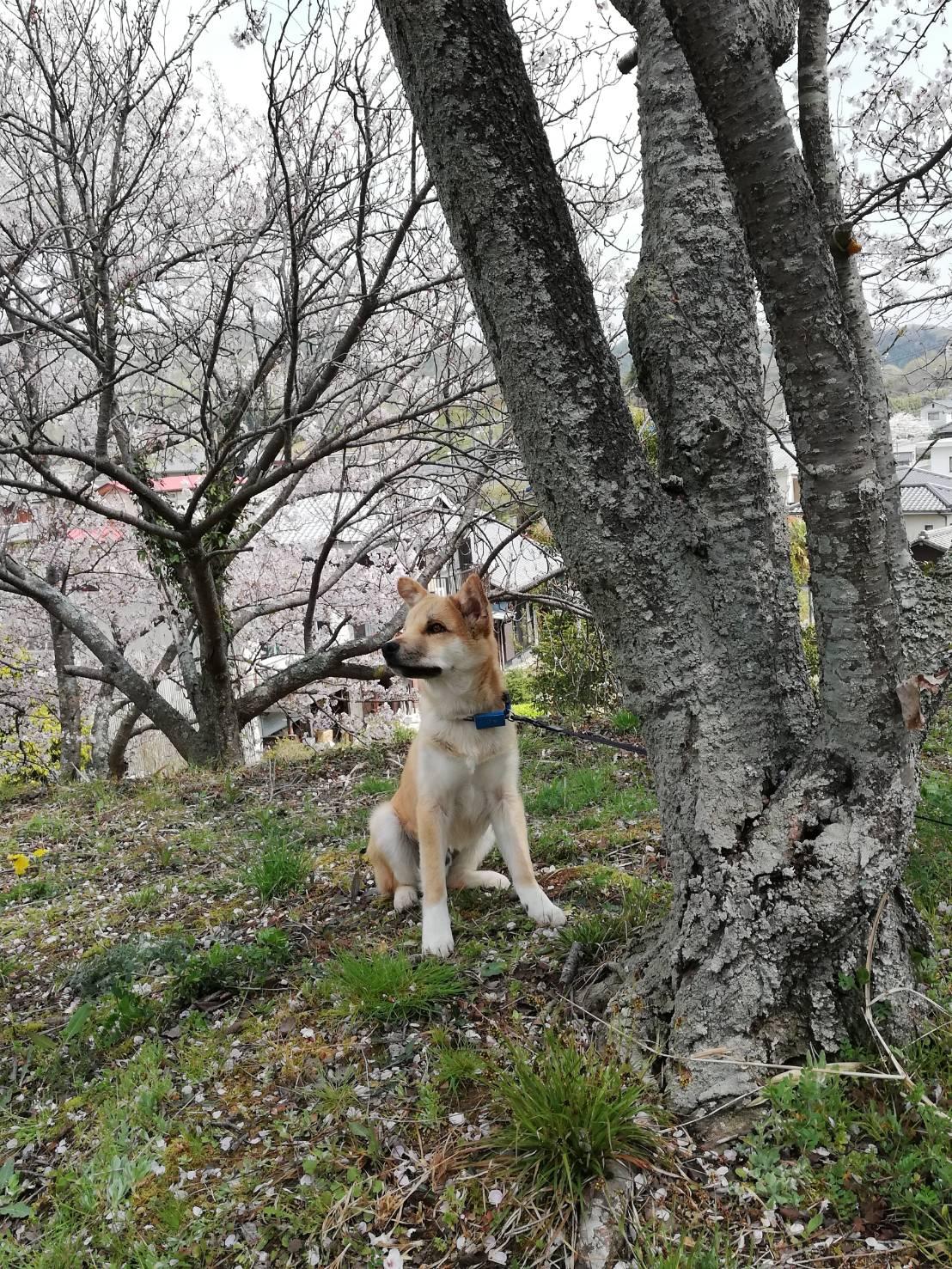 岡山保護犬あおの一日、近所の茶臼山