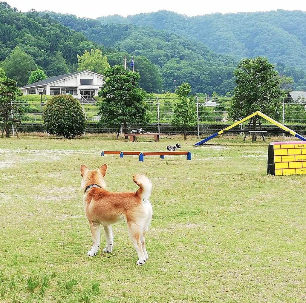 岡山保護犬あおの一日、動物愛護センタードッグランにて