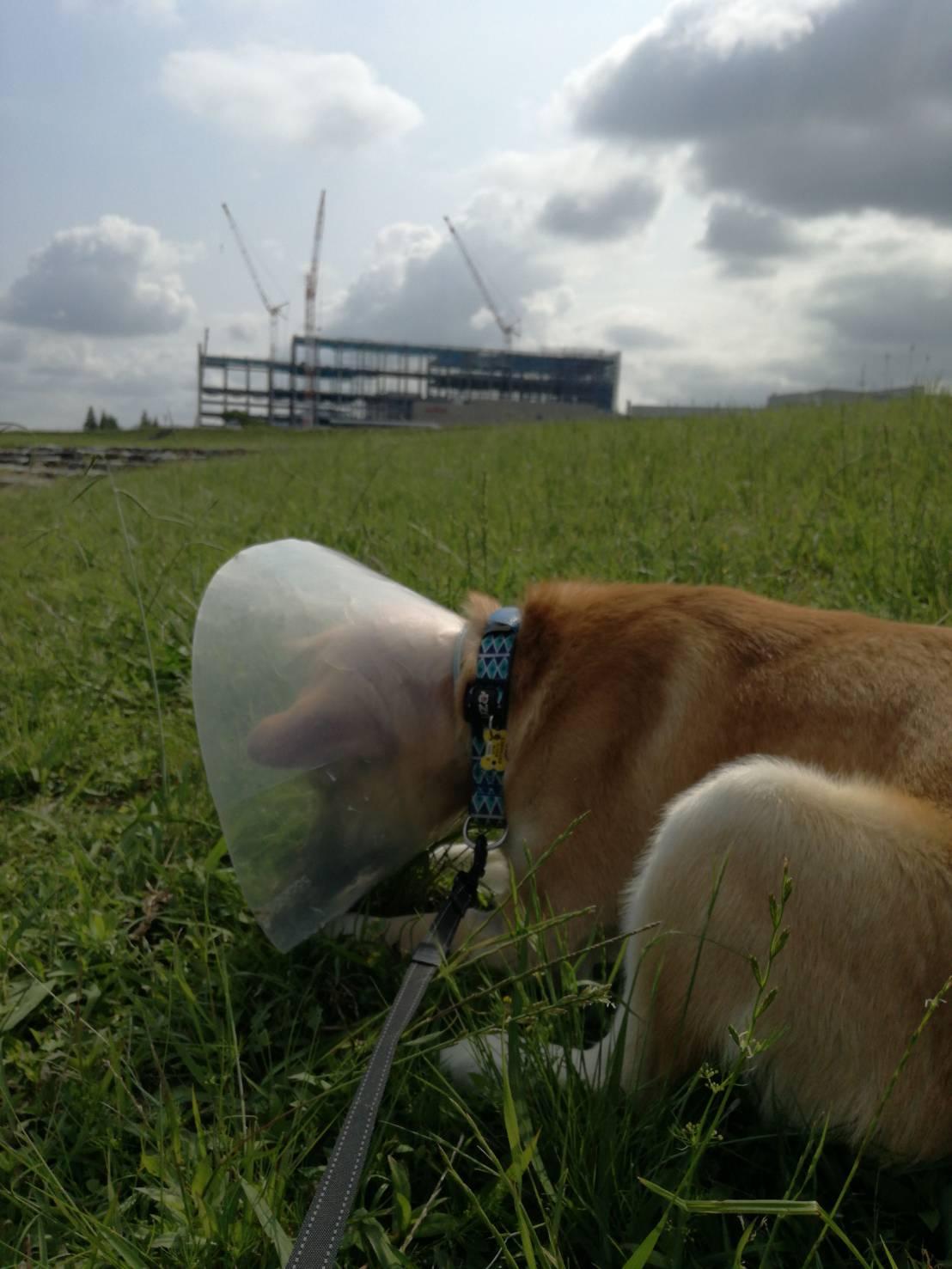 岡山保護犬あおの一日、去勢手術その後の散歩風景