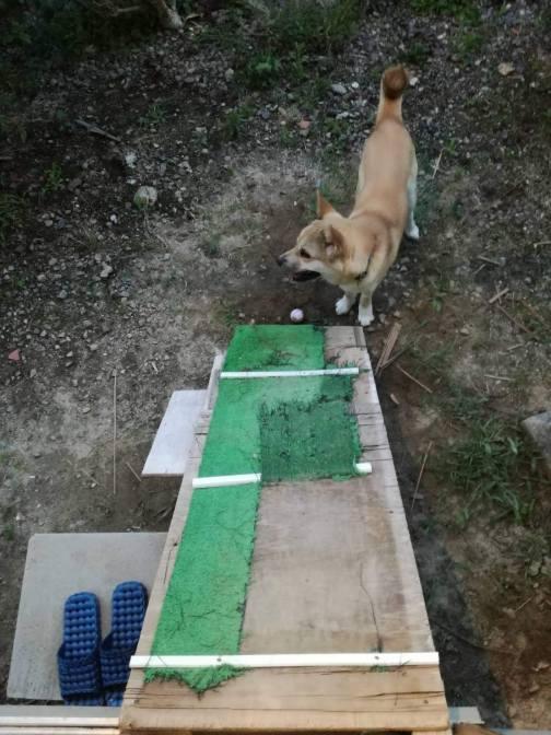 岡山保護犬あおの一日、ボール取りに来て