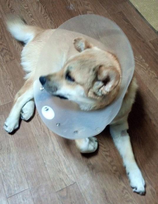 岡山保護犬あおの一日、去勢手術初日