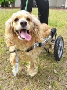 Molly is paralyzed due to a shattered T-11and is not a candidate for rehabilitation. She lives a happy and healthy life. She uses a cart as her mobility. She is available for adoption.