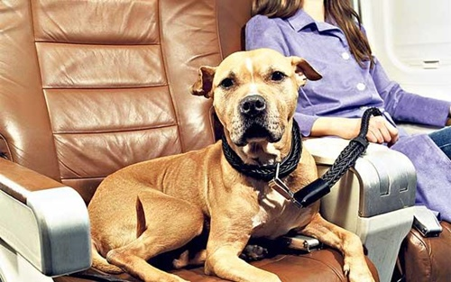 Flying From The Uk With Emotional Support Dog