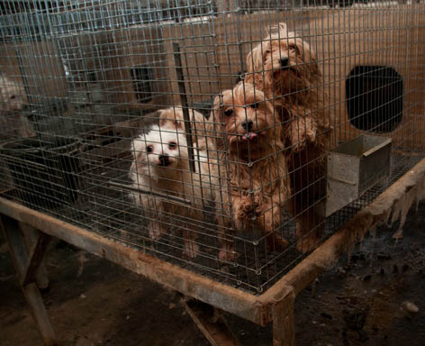 Department of Agriculture Transition Leader Heads a Group that Literally Protects and Defends Puppy Mills